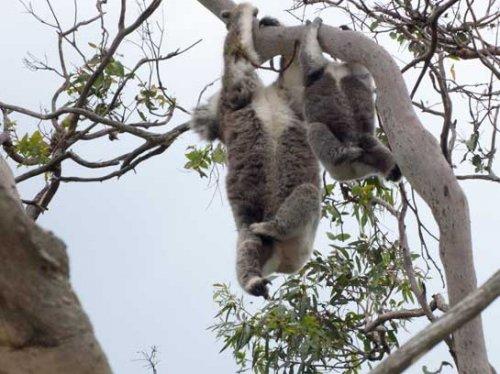 koala6.jpg.jpg