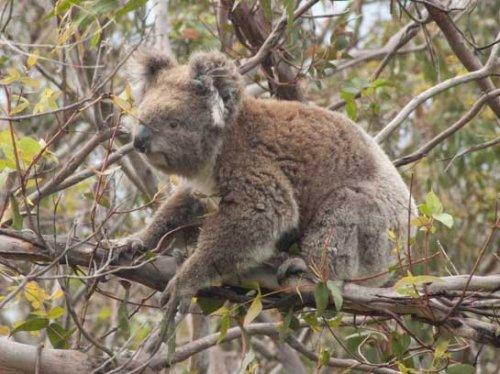 koala7.jpg.jpg