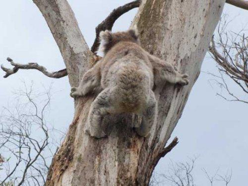 koala8.jpg.jpg