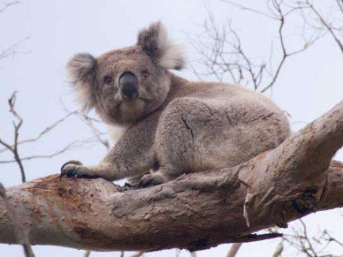 koala91.jpg.jpg