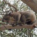 koala3.jpg.jpg