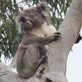 koala4.jpg.jpg