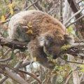koala5.jpg.jpg