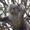 koala9.jpg.jpg